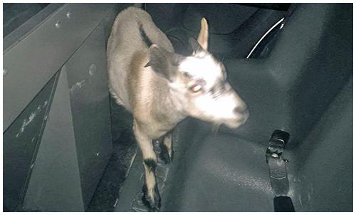 500-302-Goat